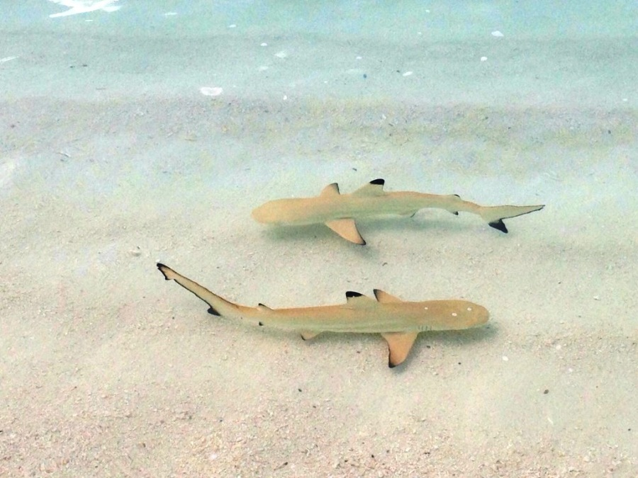 Gerçekten bebek gibi köpekbalıkları, çok uysallar..