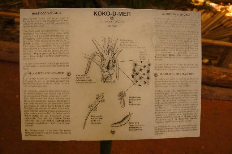 Coco de Mer bitkisi erkek tarafı ile ilgili bilgi