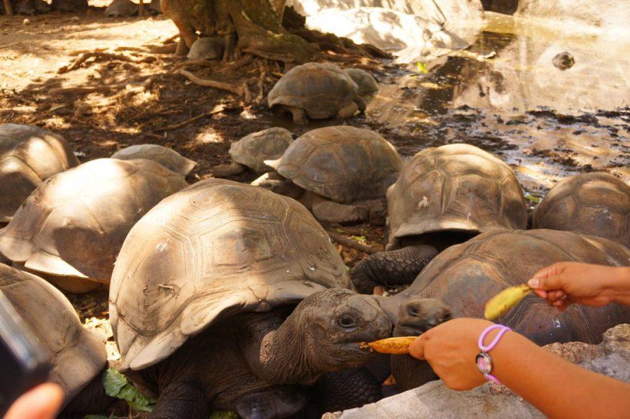 Dev kaplumbağalar muz mu yiyor!?