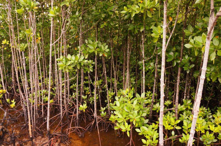 Otelin sınırları içindeki Mangrov Ormanı